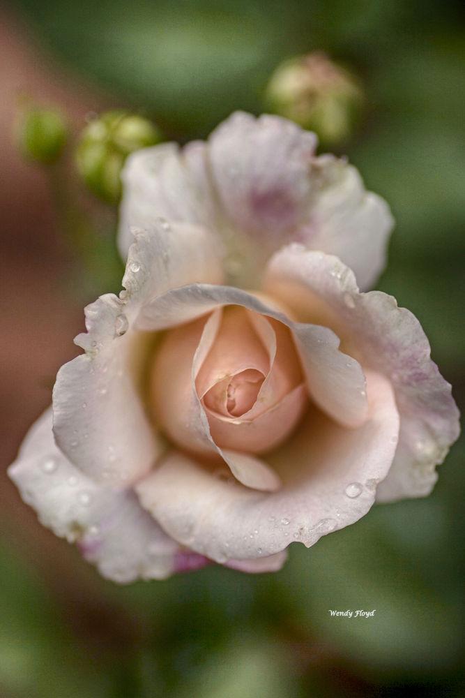 Rose by WendyFloyd1