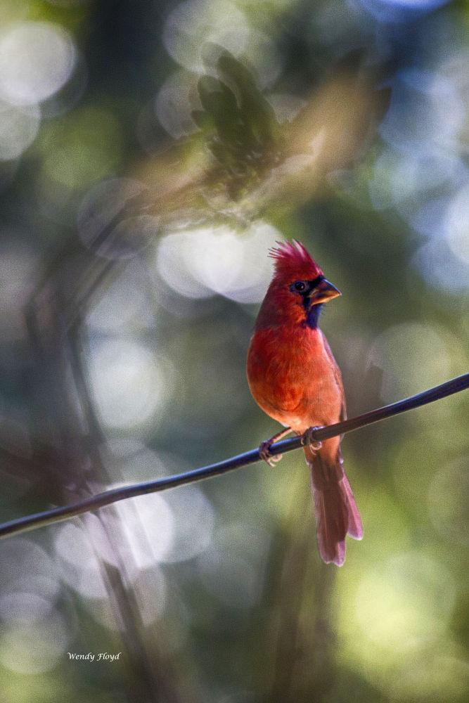 Cardinal by WendyFloyd1