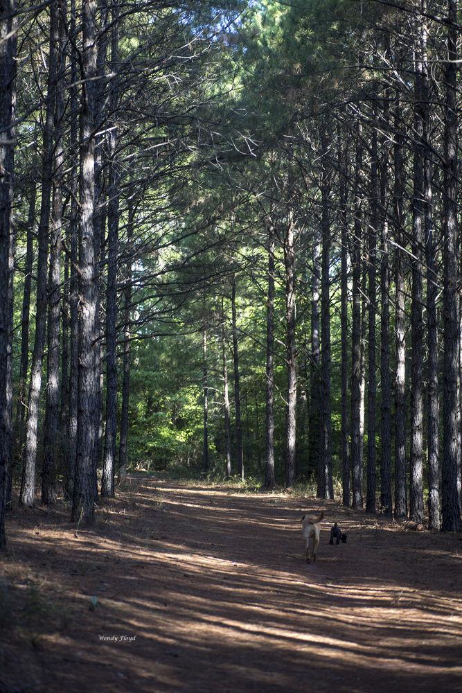 East Texas Piney Woods by WendyFloyd1