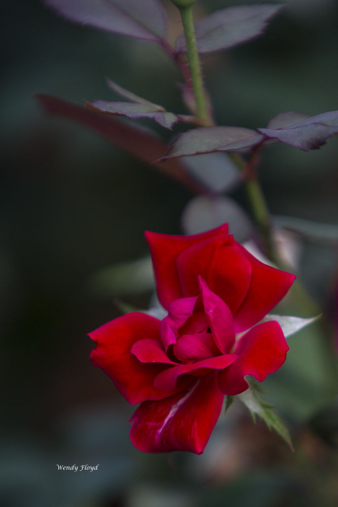 A Rose by WendyFloyd1