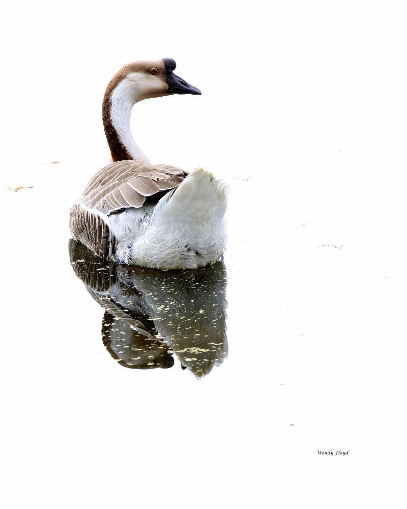 Duck by WendyFloyd1