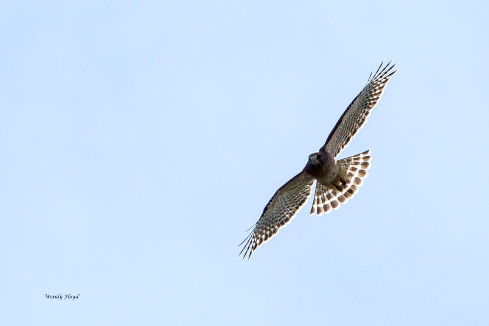 Hawk by WendyFloyd1