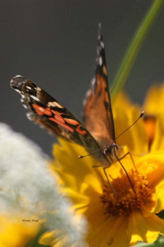 Butterfly by WendyFloyd1