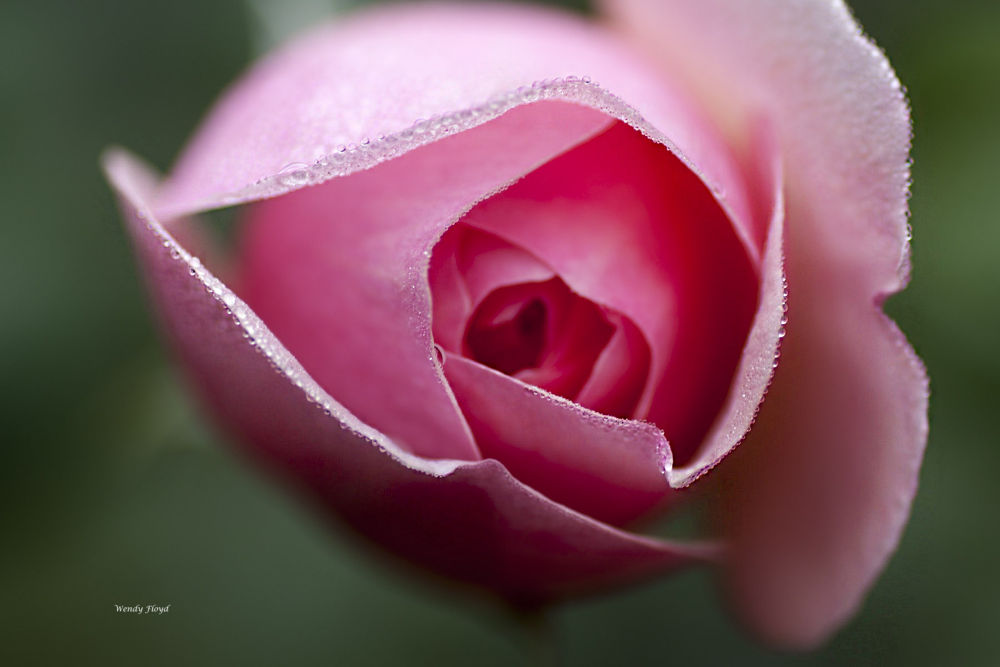 Laced with Dew by WendyFloyd1