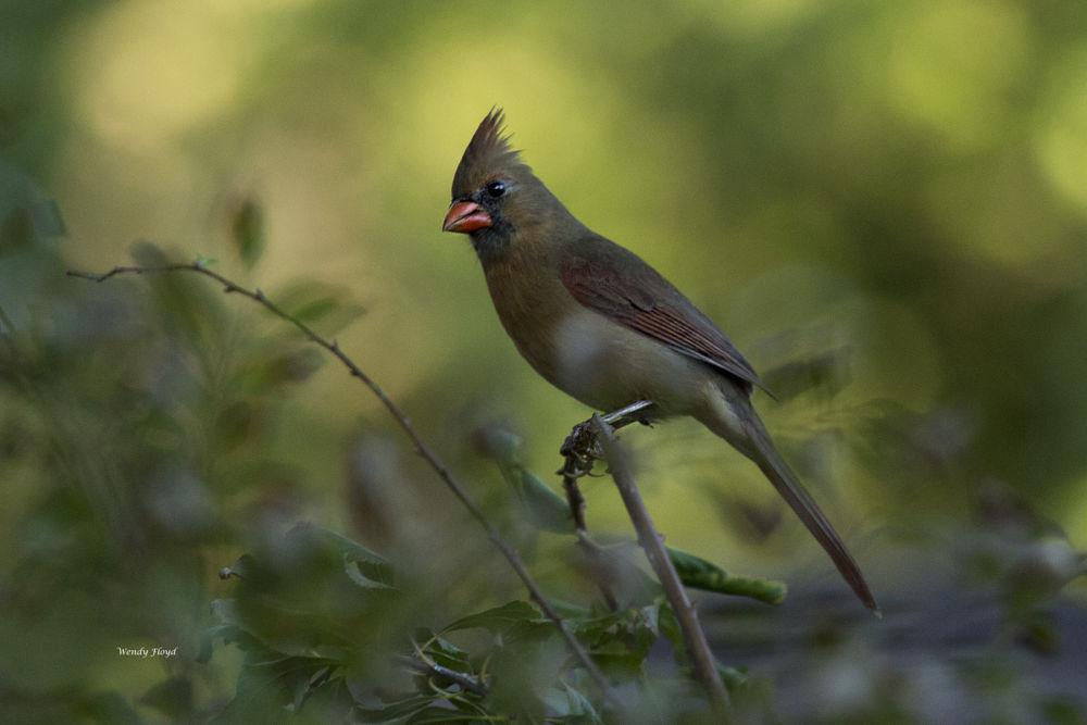 Female Cardinal by WendyFloyd1