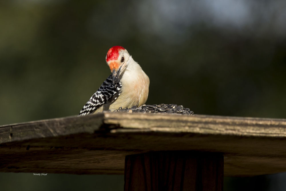 Woodpecker by WendyFloyd1