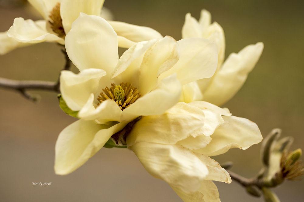 Tulip Tree Bloom by WendyFloyd1