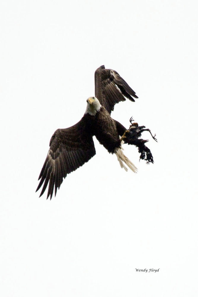 Eagle and Crow by WendyFloyd1