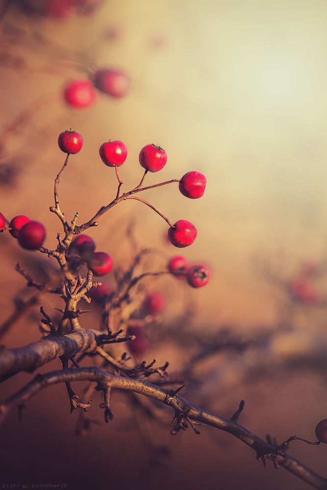 Red berries by Cliff Warthold