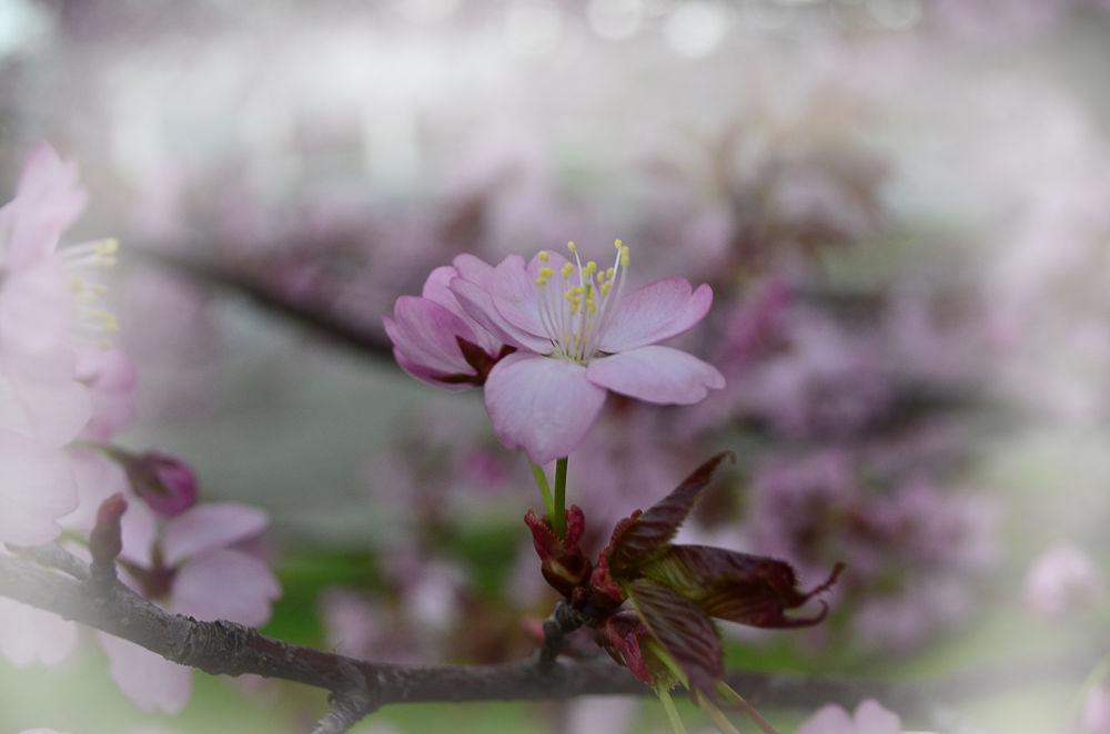 Kirschblüte by christiankoloska