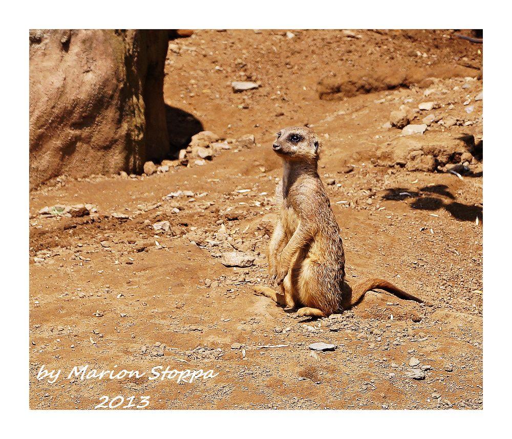 Meerkat by marionstoppa