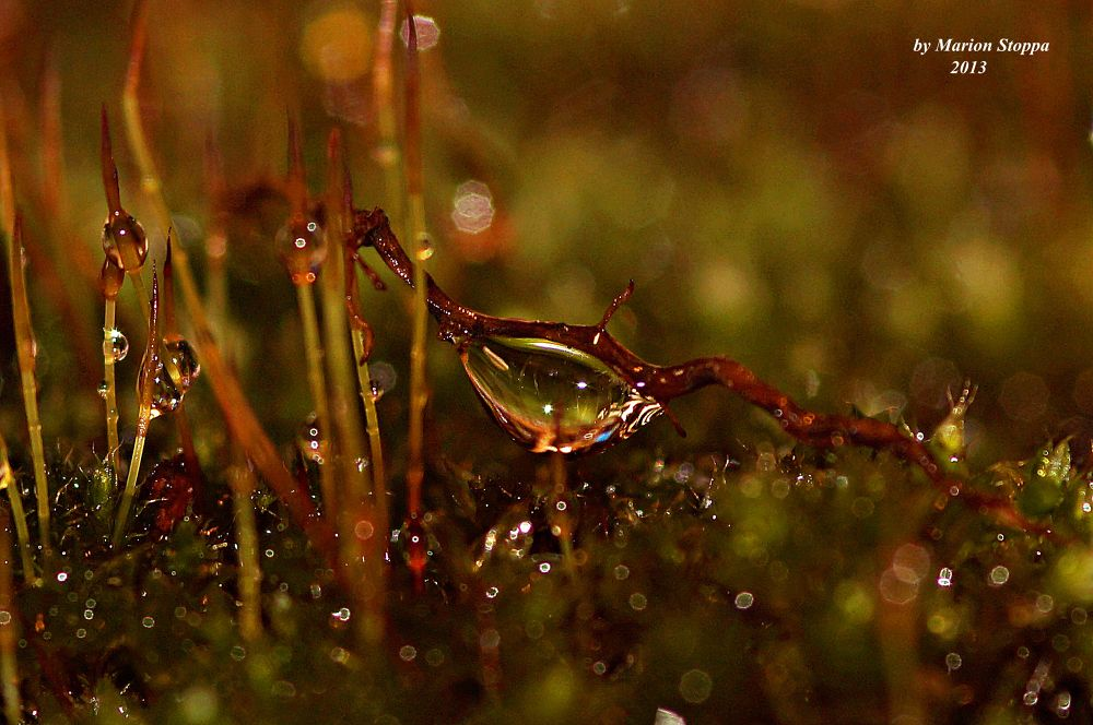 Dew Drops on moss by marionstoppa