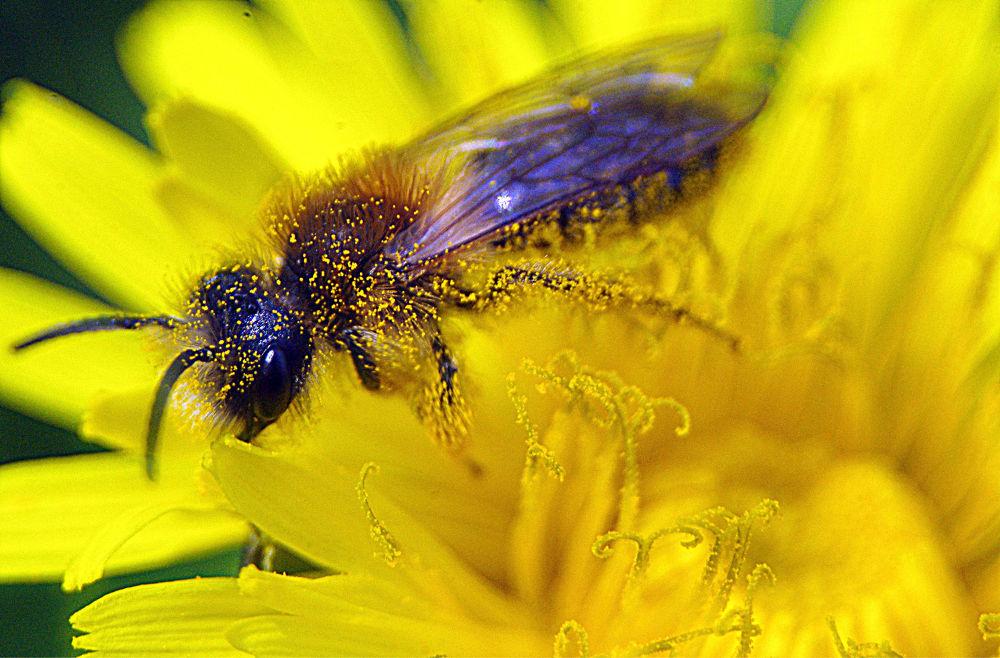 Full of polen by cancianibernardphoto