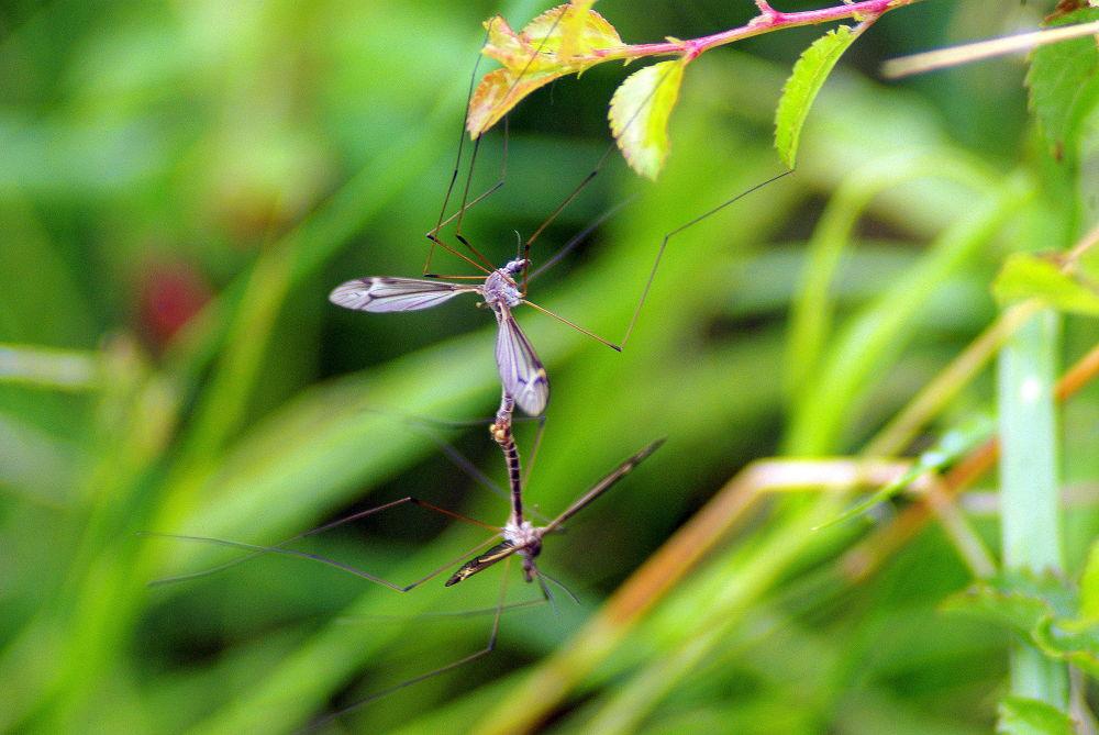 Sexe chez les moustiques by cancianibernardphoto
