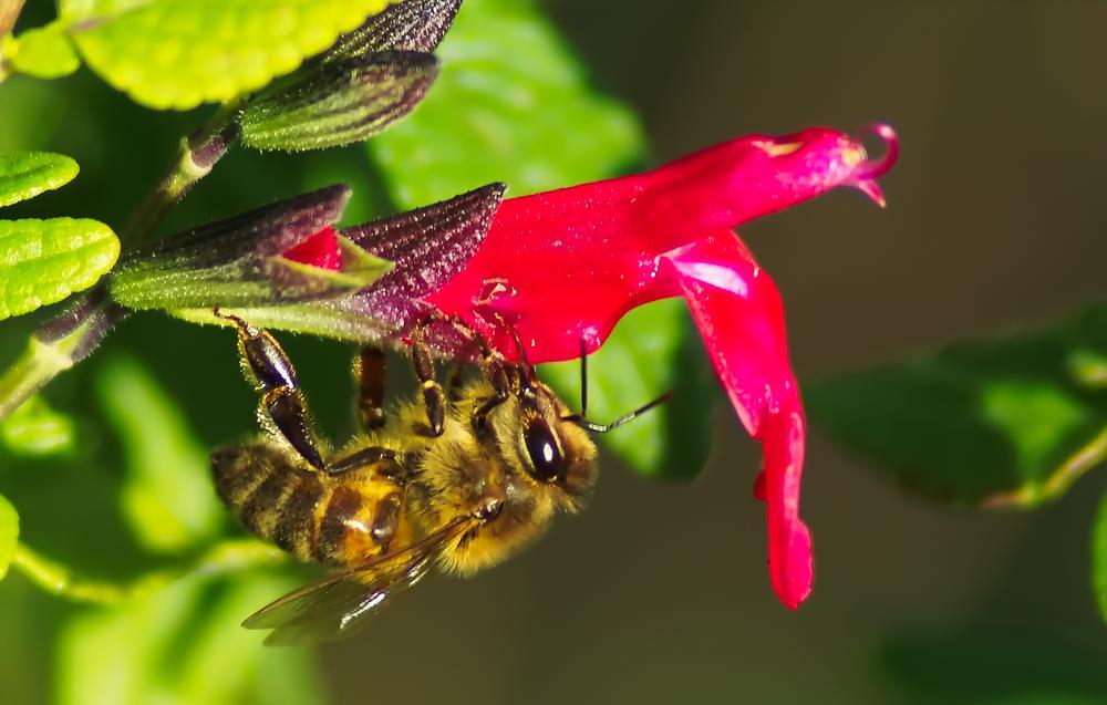 Photo in Macro #nature #macro #bee #abeille