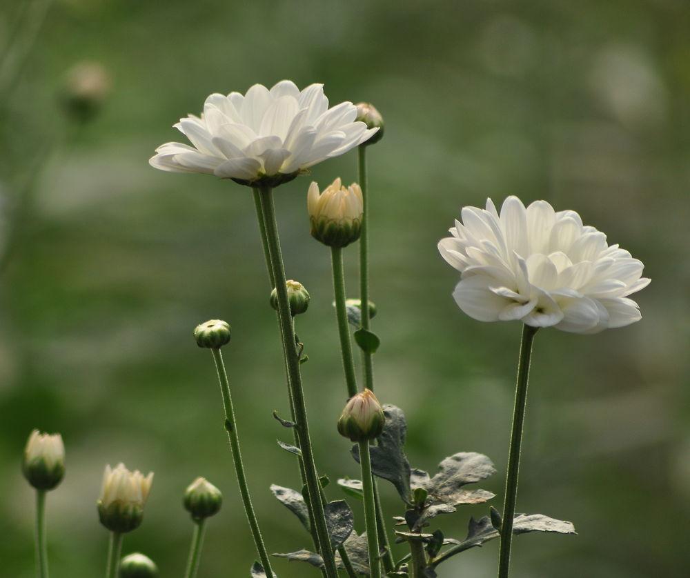 chrysanthemum flower by REOG BIYAN