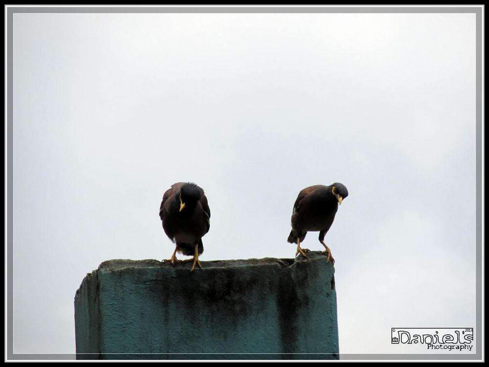 জোড়া শালিক by Daniel Chowdhury