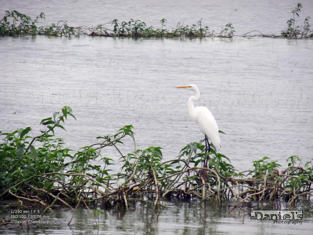 Egret by Daniel Chowdhury