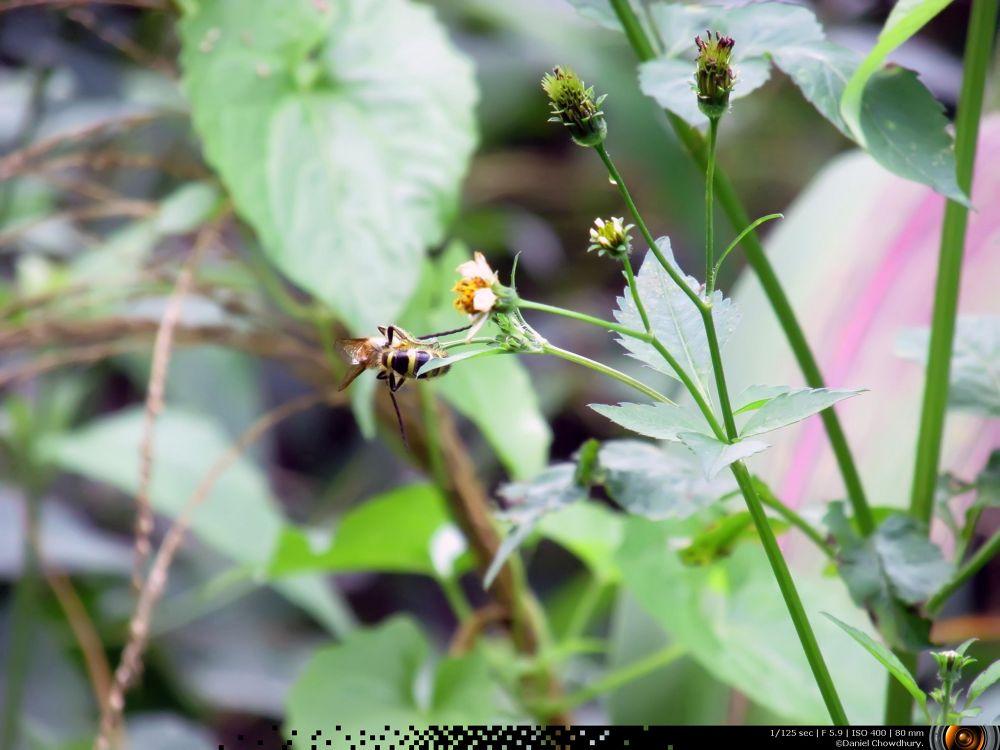 Honey Bee by Daniel Chowdhury