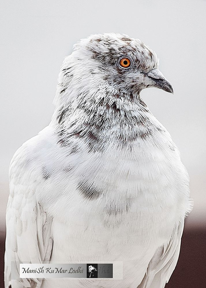 pigeon by ManiSh KuMar Lodhi