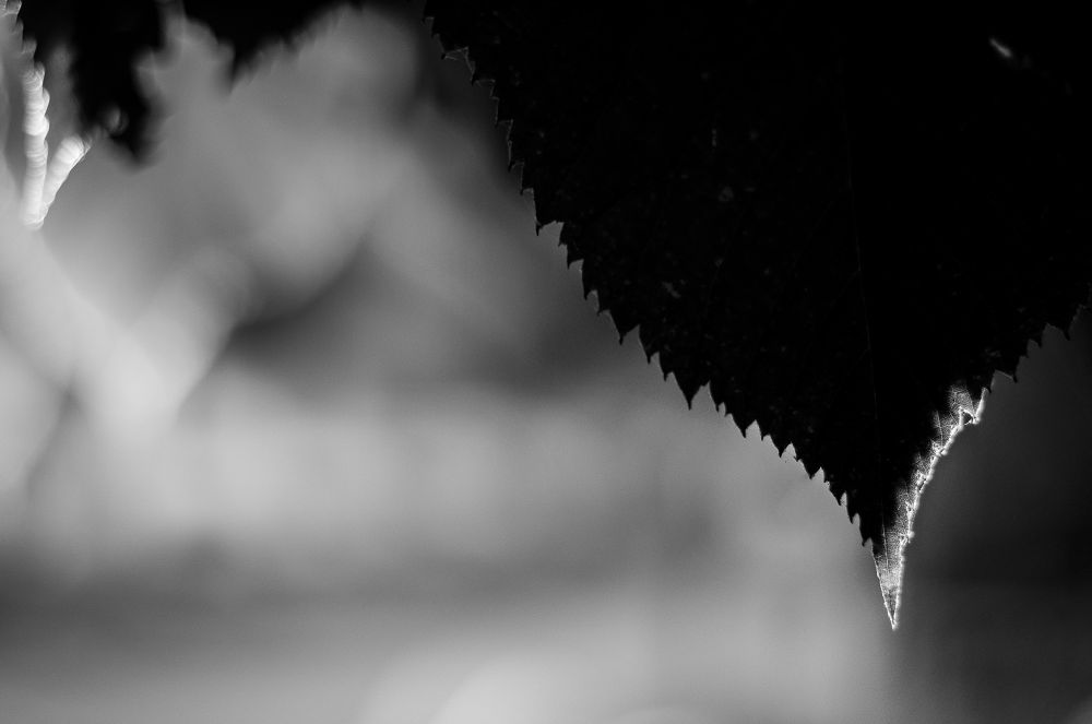 Photo in Abstract #nature #bw #black and white #manual lens #pentax #leaf #abstract #nature as abstract artist