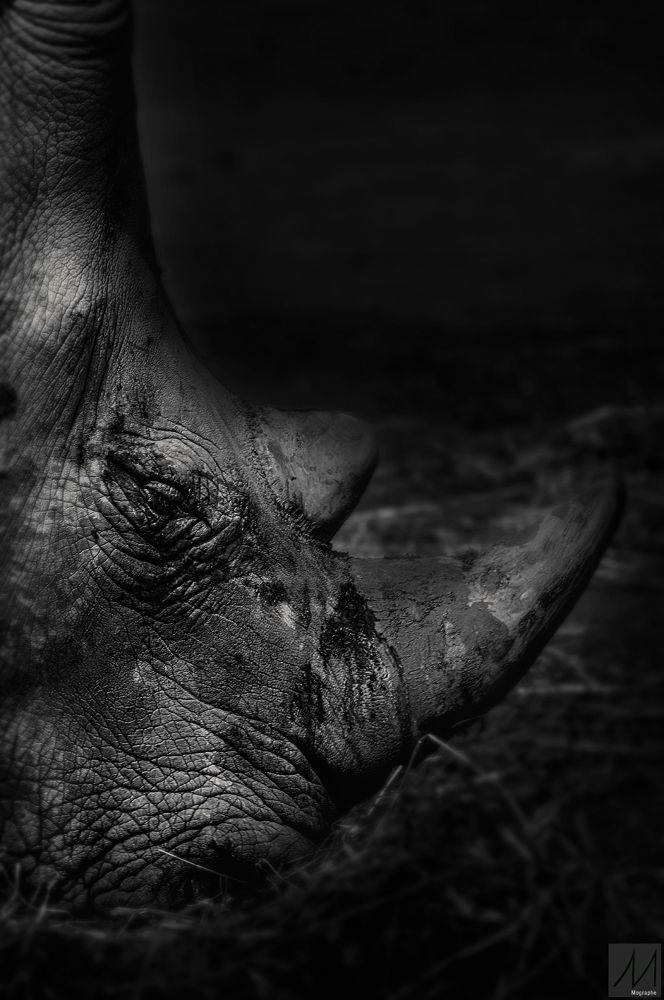 Le Rhinocéros by Moussa Idrissi-MOGRAPHE