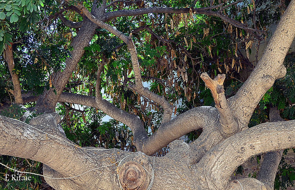 Tree by Emad Eldin Moustafa El Refaie