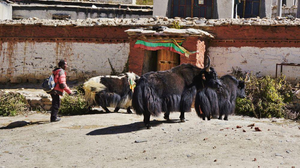 Yaks in Tibet by yunpunghsu