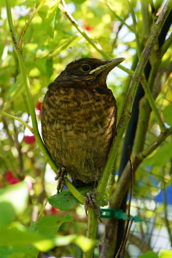 blackbird 1 by chickp66