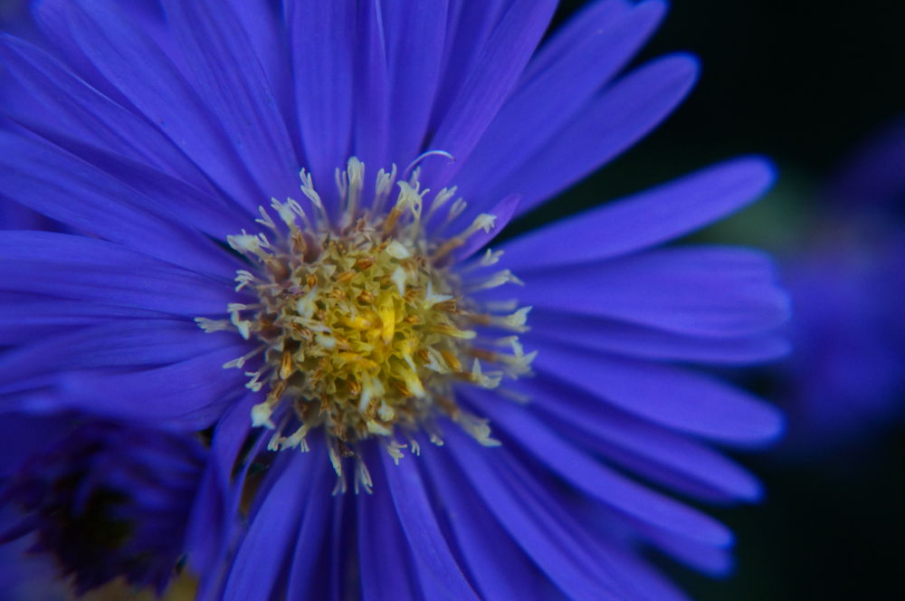 Aster by chickp66
