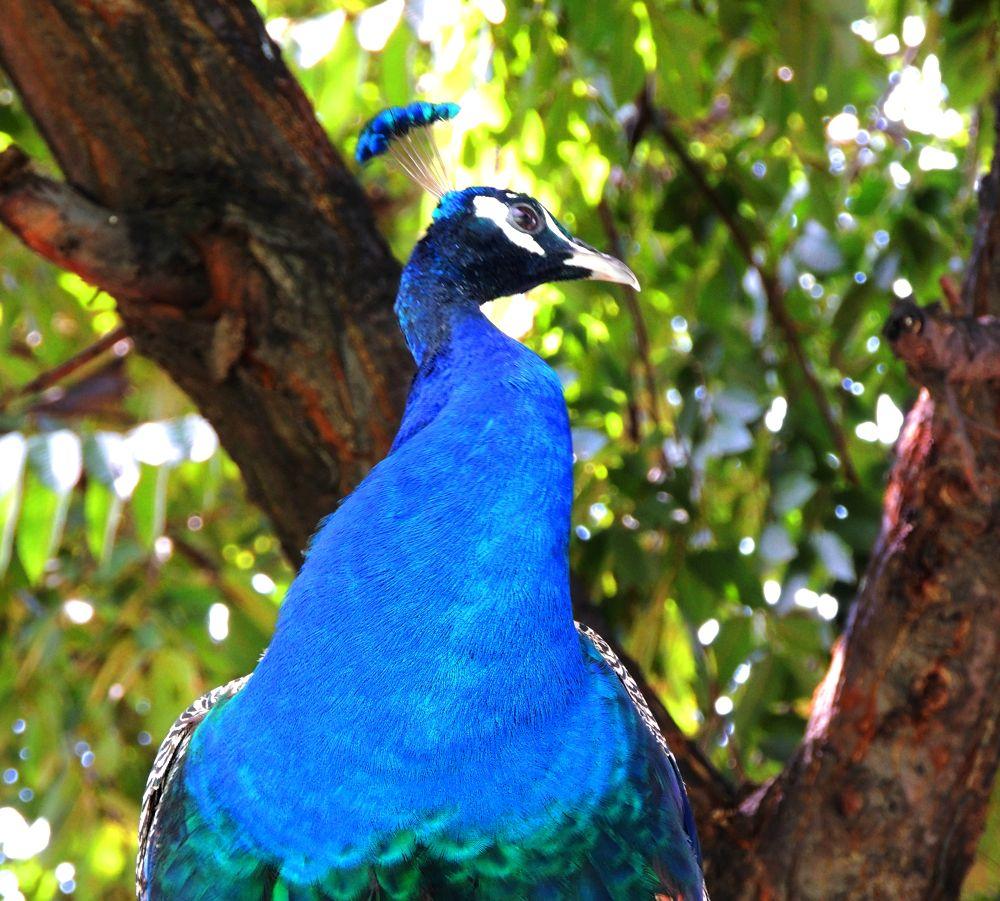 DSCN6325 Our National Bird ! by maharajkar.isher