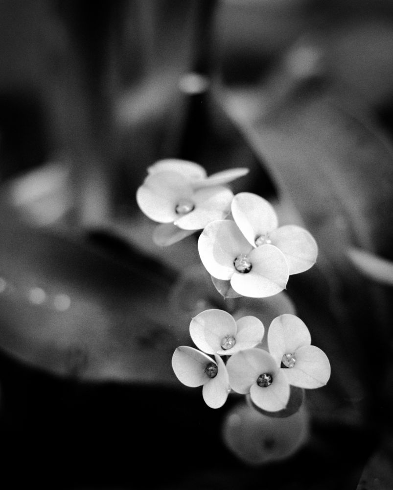 Photo in Black and White #flowers #black and white #medium format #6x7 #rz67 #fomapan #quiet