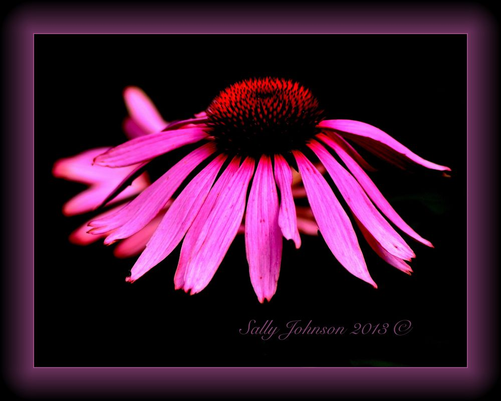 Pink Passion by sallyjohnson31586526