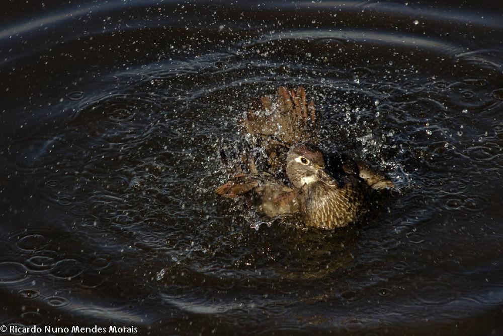 Duck by Ricardo Nuno Mendes Morais