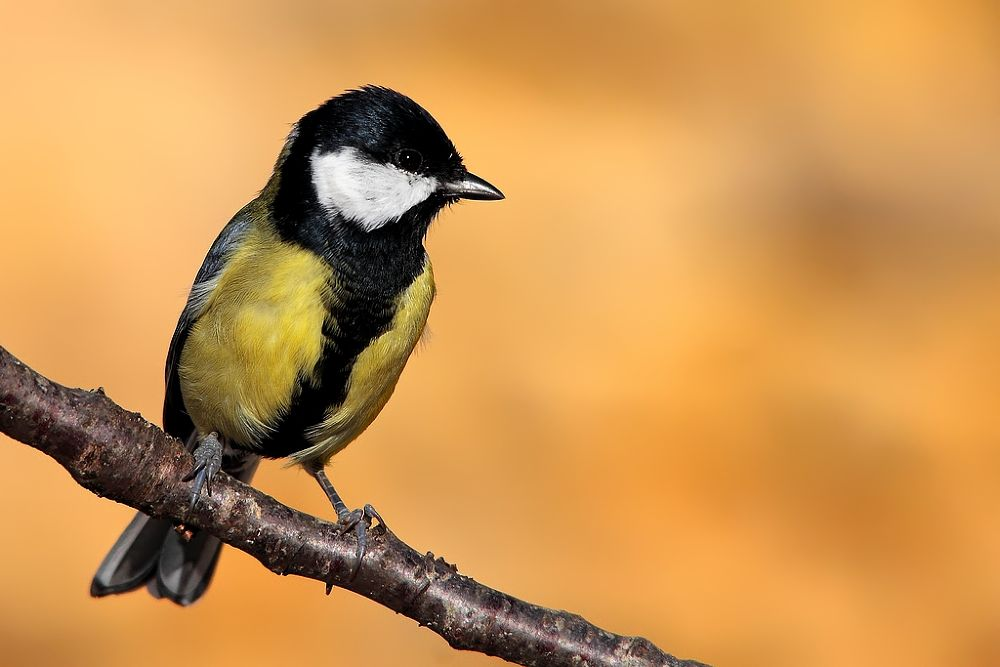 great tit by wisephotographie
