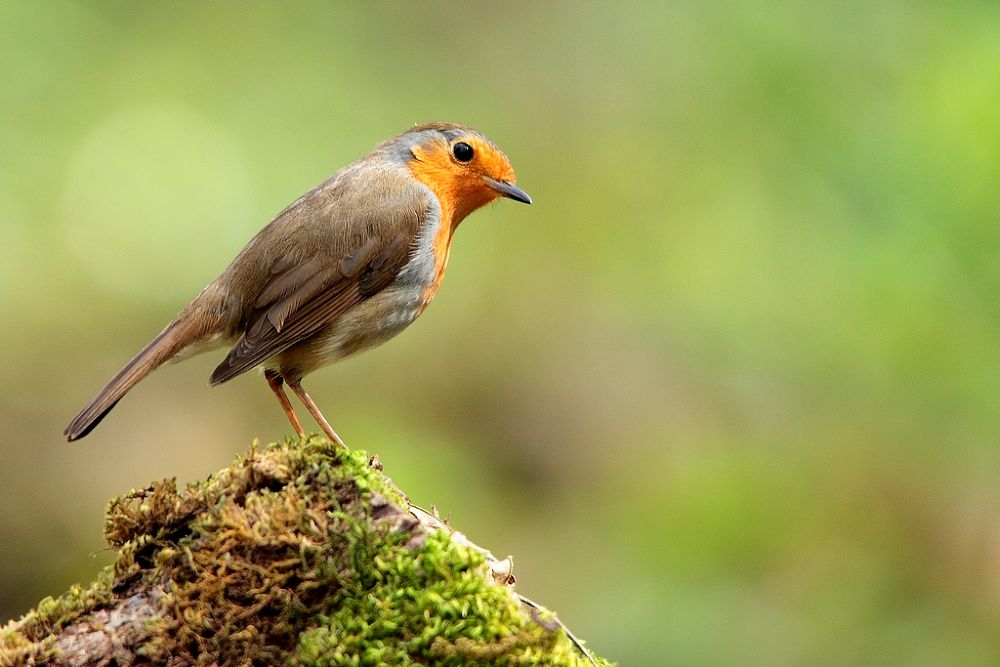 european robin by wisephotographie