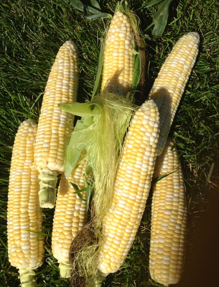 Sweet Corn Iowa Style by Steph❤❤❤