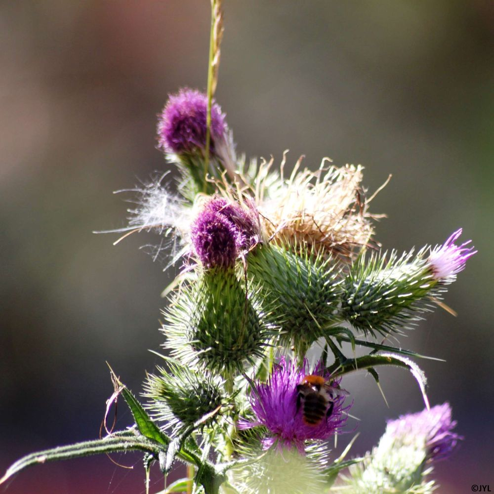 Thistle in the afternoon by jeanyveslottin5