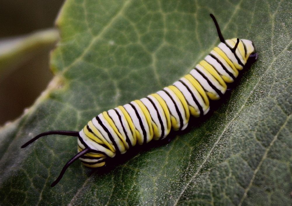 Monarch Caterpillar by crazymommy123