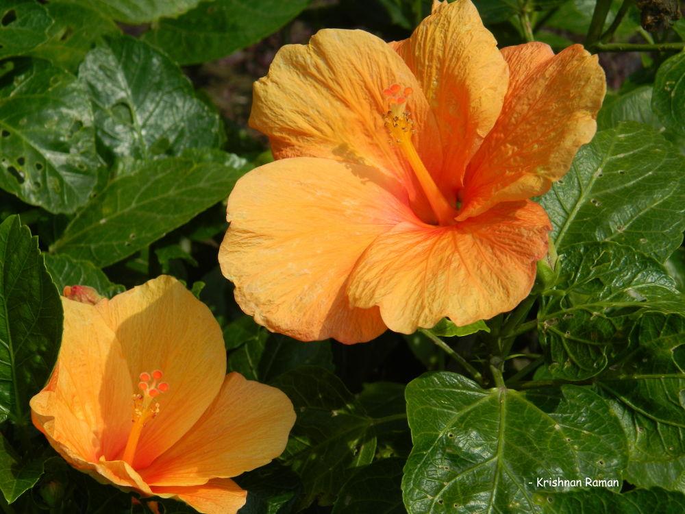 """""""Pink Shoe Flower"""" by krishnanraman1460"""