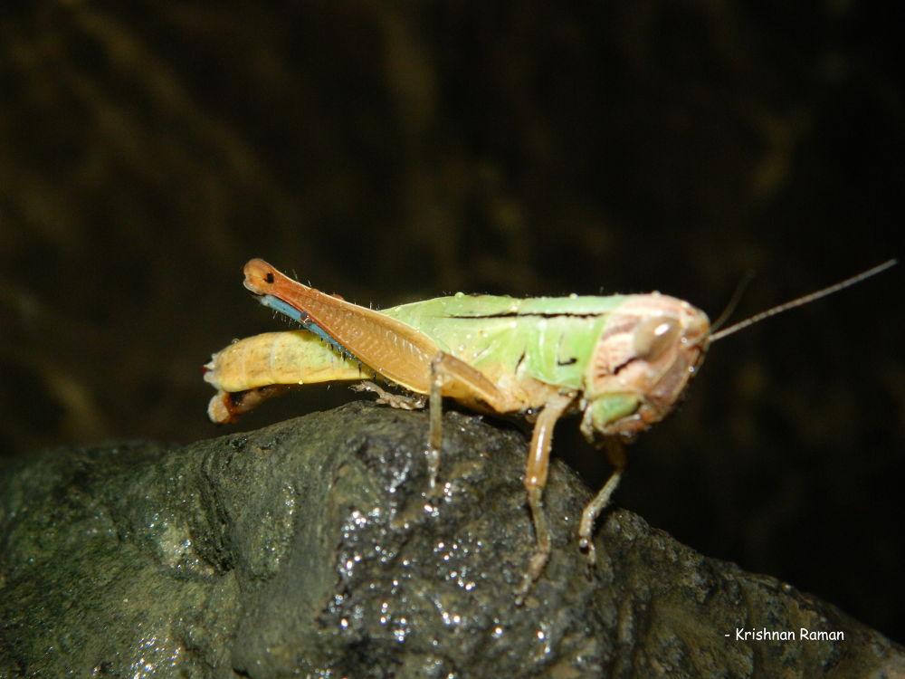 """Indian Grasshopper"" by krishnanraman1460"