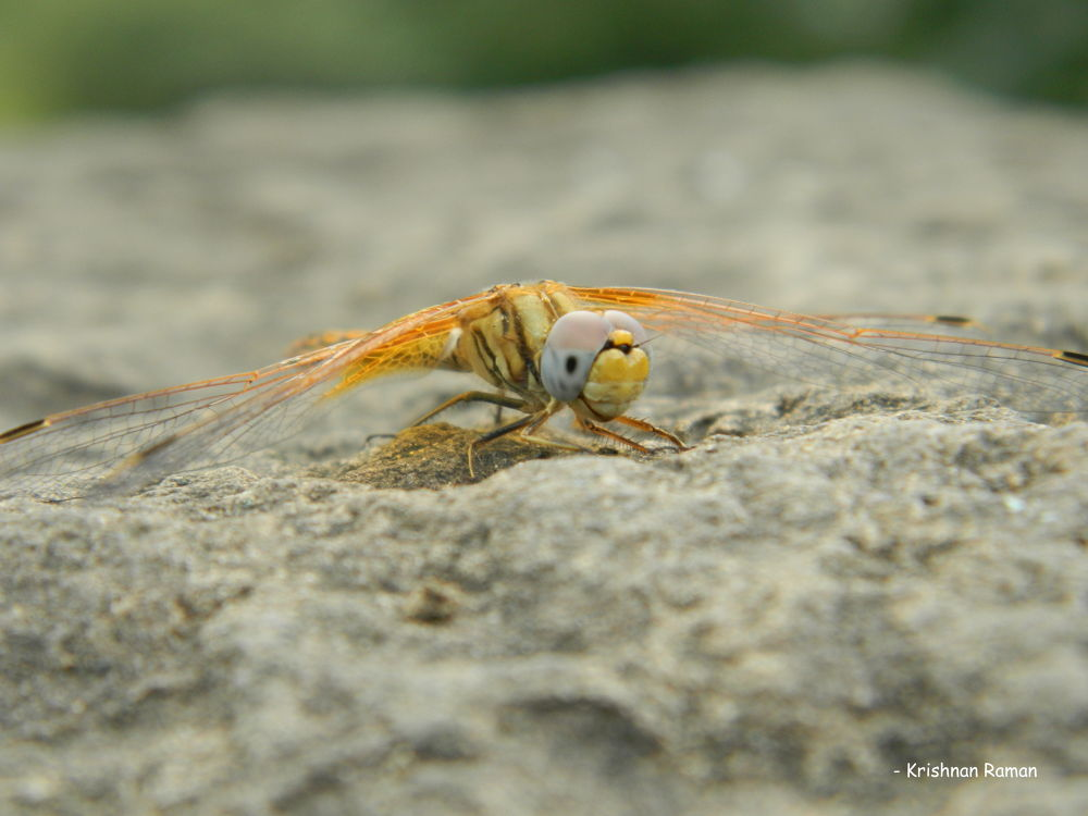 """Indian Dragon Fly"" by krishnanraman1460"