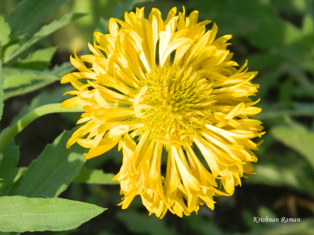DSCN3680 by krishnanraman1460