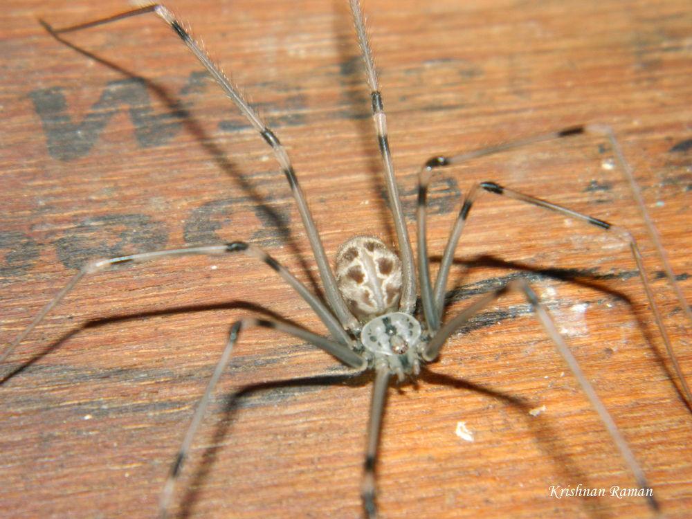Box Spider by krishnanraman1460