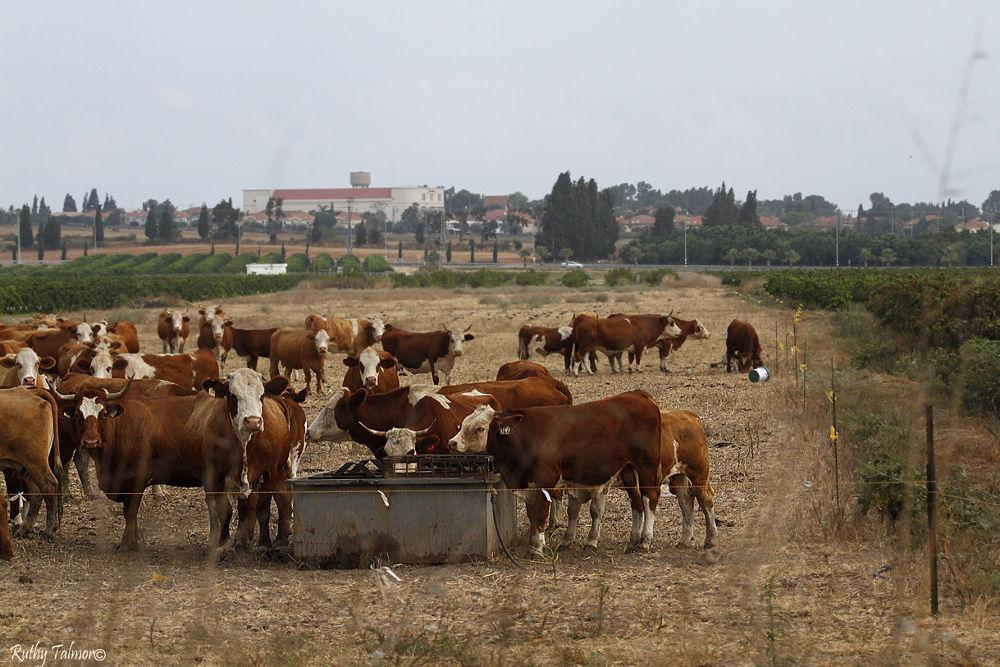 פרות באחו 1א by ruthytalmor