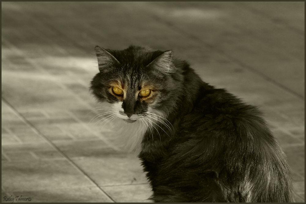 חתול 24שא by ruthytalmor