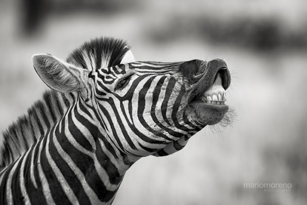 Photo in Animal #ypa2013 #zebra #b&w #stripes #africa #african #wildlife #portrait #expression #laugh #mario moreno #south #cape #images #botswana