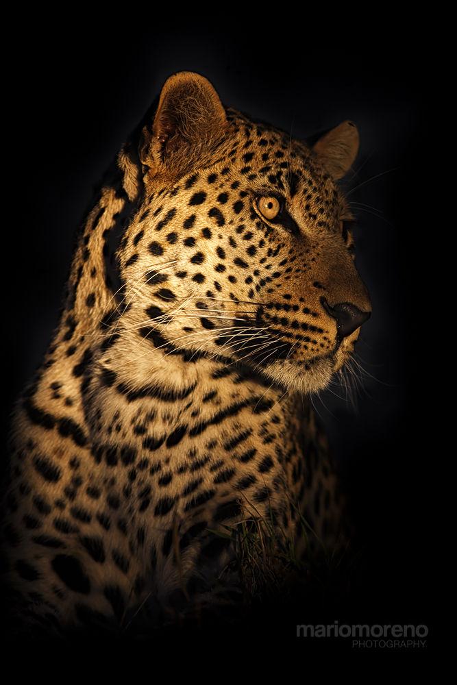 Leopard in The Dark by mariomoreno