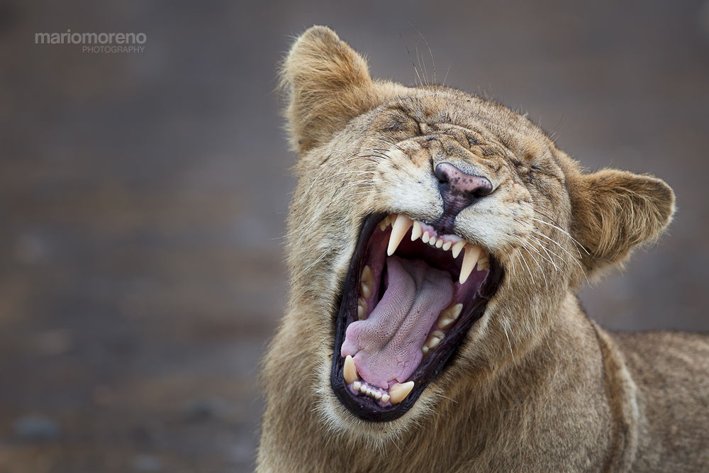 Photo in Animal #ypa2014 #wildlife #africa #african #nature #lion #young #yawn #fierce #predator #big #cat #feline #south #kruger