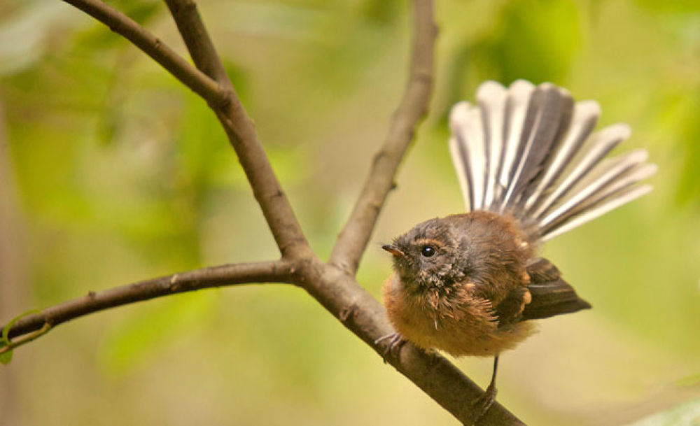Fantail 7 by blackstallionphotography